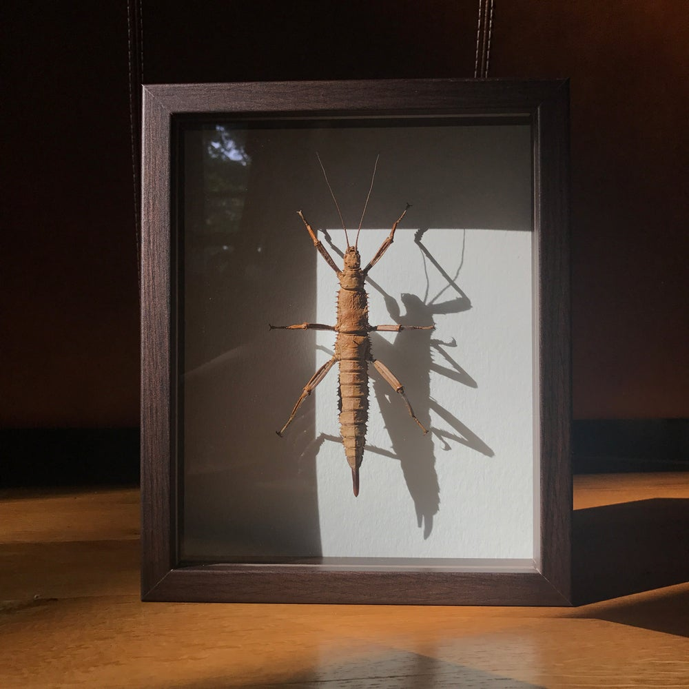 Image of New Guinea Giant Stick Insect