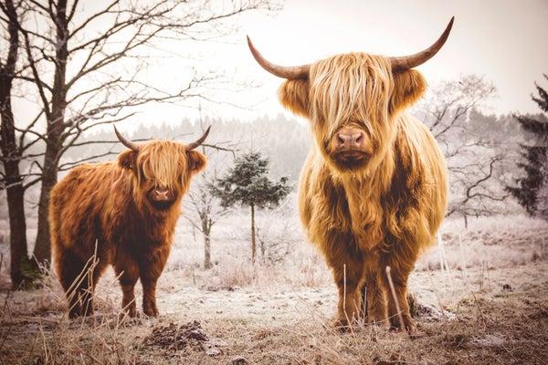 Image of Highland Cattle