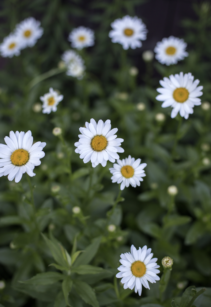 Image of Daisys