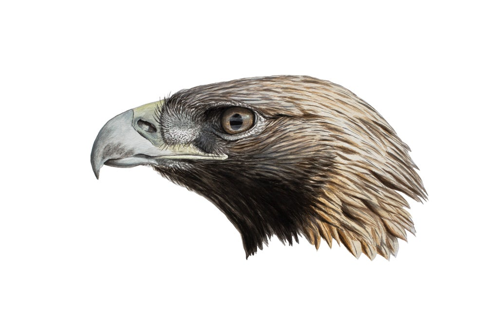 "Image of 8x10"" Limited Giclee Print: Golden Eagle (Aquila chrysaetos)"