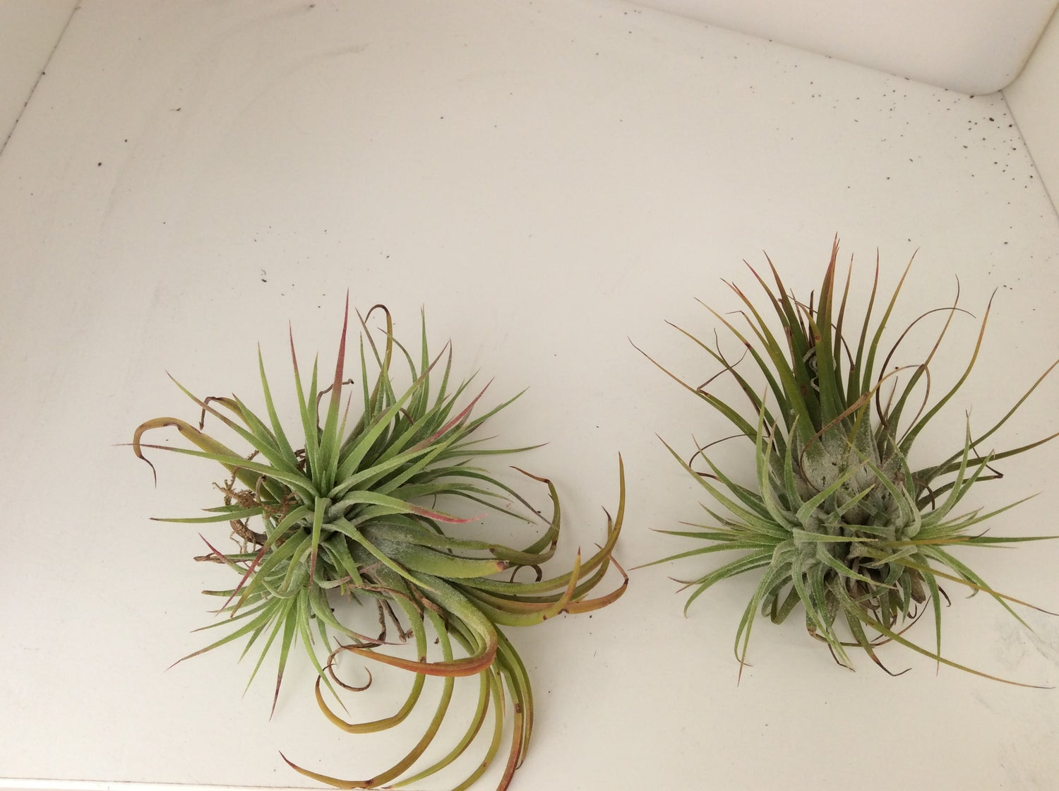 Image of Tillandsia ionanatha clump