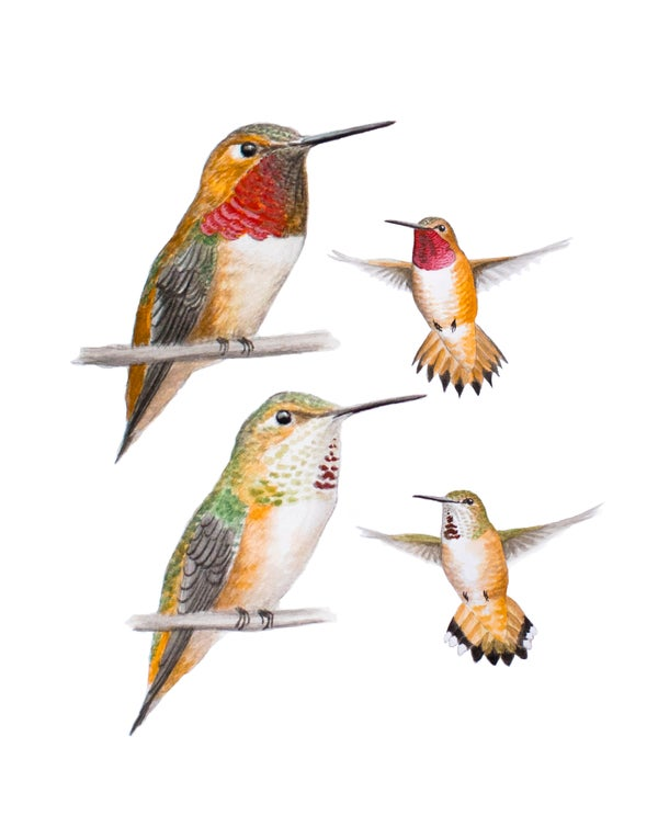 "Image of 8x10"" Limited Giclee Print: Rufous Hummingbird (Selasphorus rufus). Male and female."