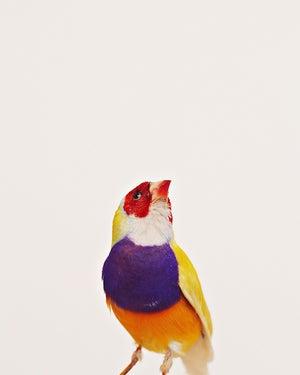 Image of Golden Belly Bird