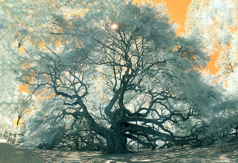 "Image of ""Angel Oak Infrared"" 13x19 Art Paper"