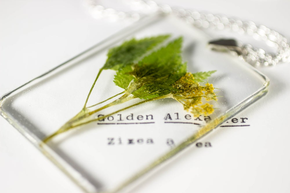 Image of Golden Alexander (Zizea aurea) - Large #2