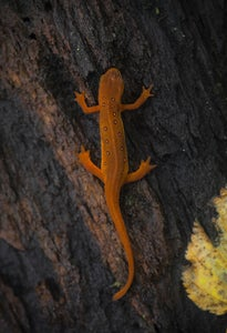 Image of 13x19(in) Red Eft Print