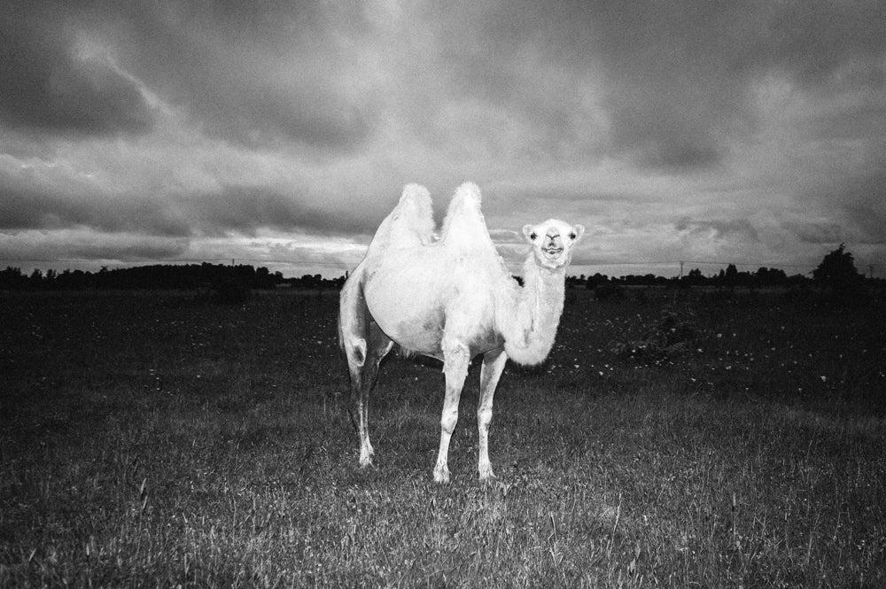 Image of Swedish Camel