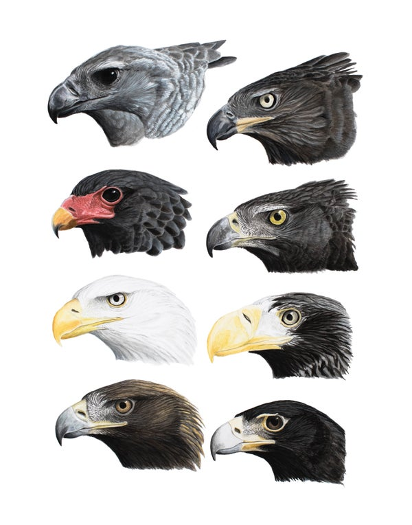 "Image of 11x14"" Limited Giclee Print: Eagles"