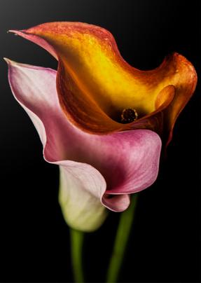 Image of Callas 8 x 10 Art Print with White Border