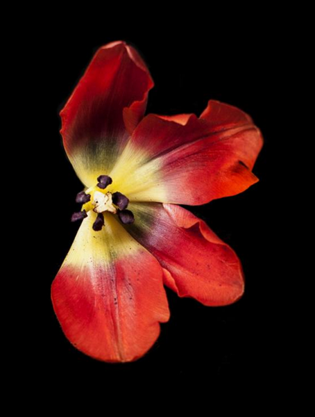 Image of Red Valentine Dissected. The Petal Series, Limited Edition Print by photographer Tal Shpantzer