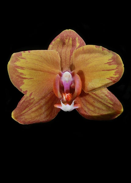 Image of ORCHID 02