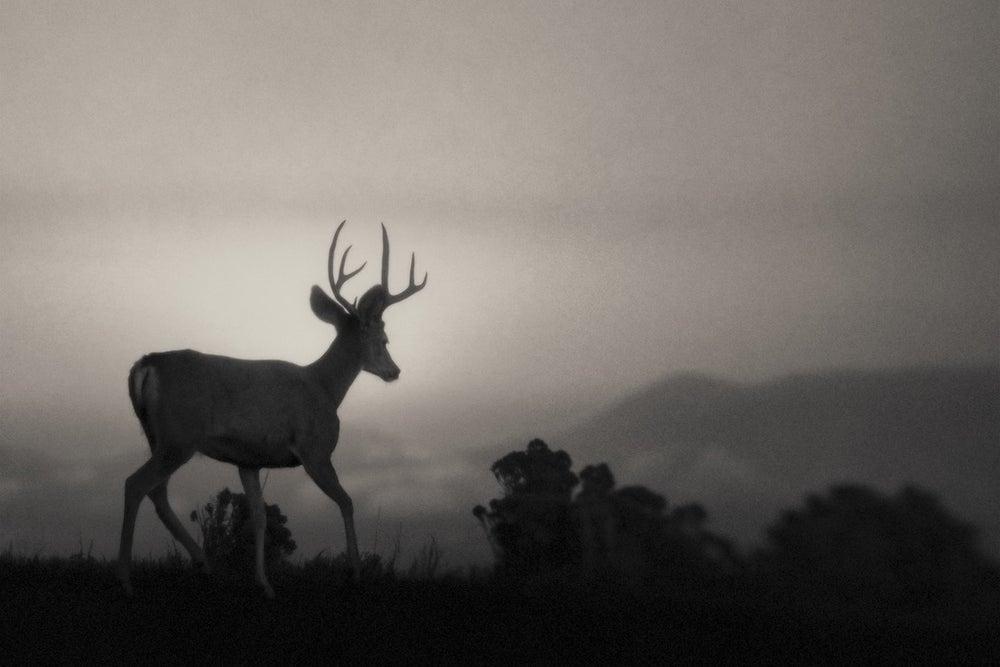Image of Buck
