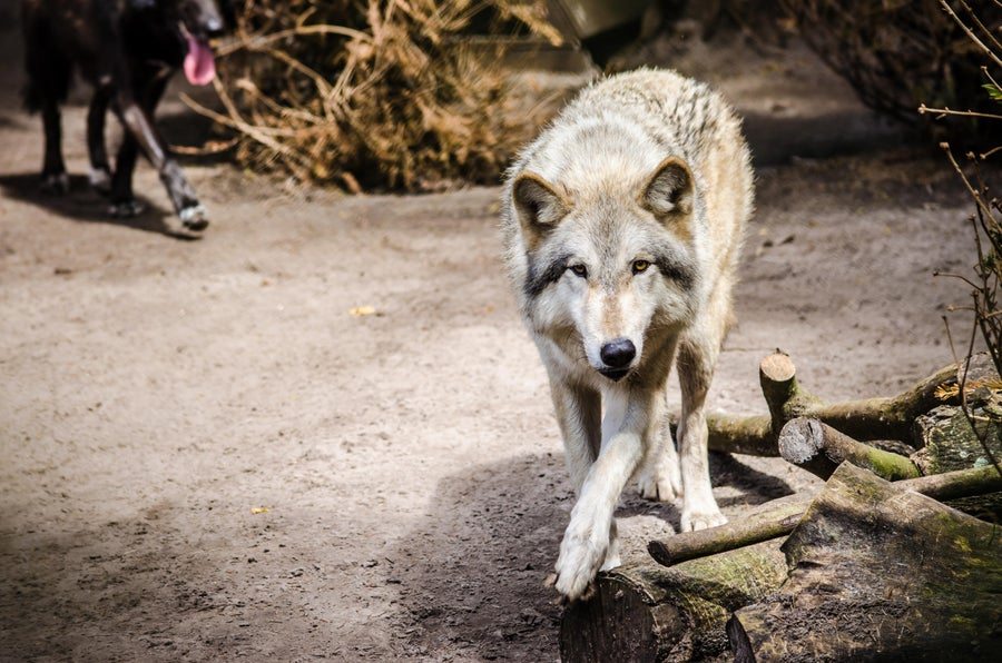 Image of Shy Wolf