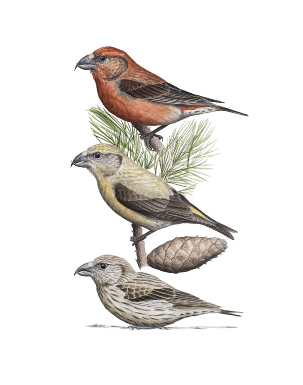 """Image of 11x14"""" Limited Giclee Print: Cassia Crossbill and Rocky Mountain Lodgepole Pine"""