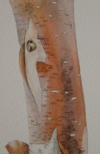 Image of Copper Birch 2