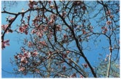 Image of cherry bloss