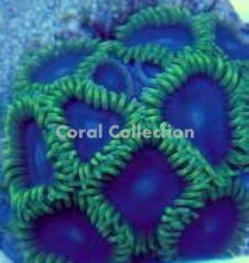 Image of Purple Heart Zoanthid