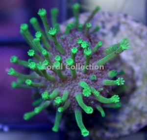 Image of Neon Green Toadstool