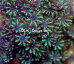 Image of Sympodium Coral