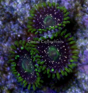 Image of Gold Dust Zoa