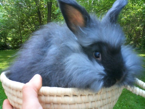 Image of English Angora Bunnies make great pets!