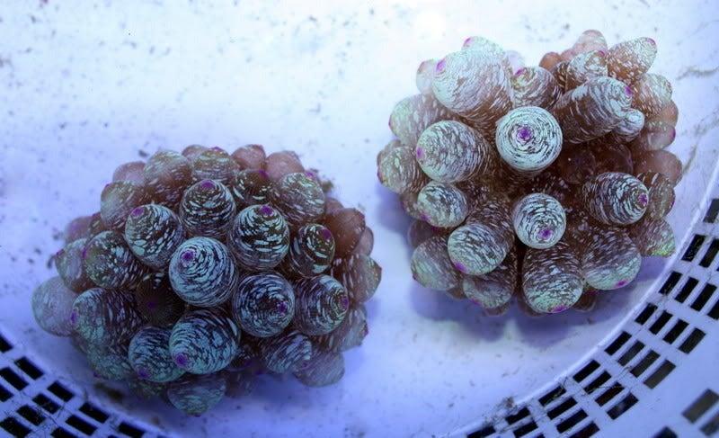 Image of CC Purple Rain BTA
