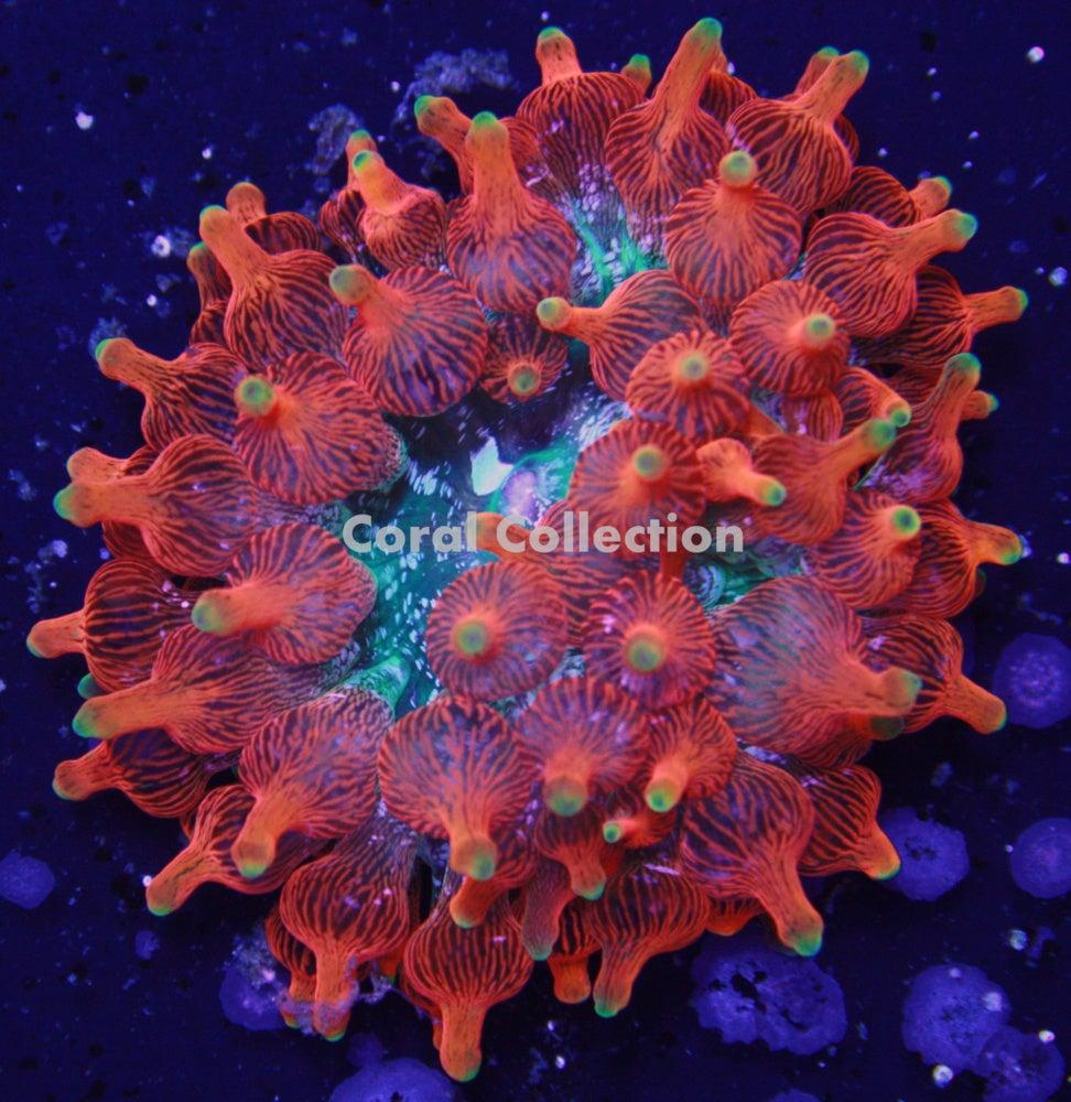 Cc Inferno Bta Coral Collection