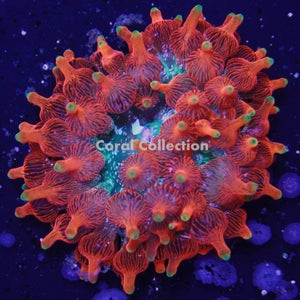 "Image of CC Inferno Bubble Tip Anemone ""Inferno BTA"""