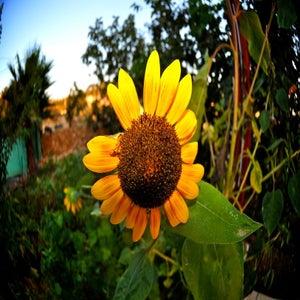 Sunflower Isreal
