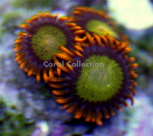 Image of Mandarin Orange Zoa