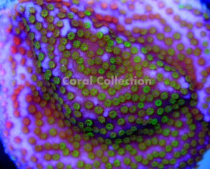 Image of LE Rainbow Montipora