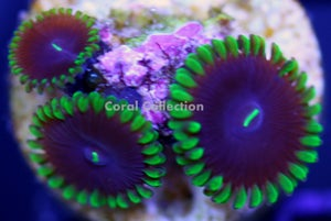 Image of Purple People Eater Paly