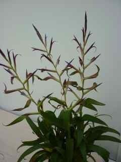 Image of Tillandsia 'mora'