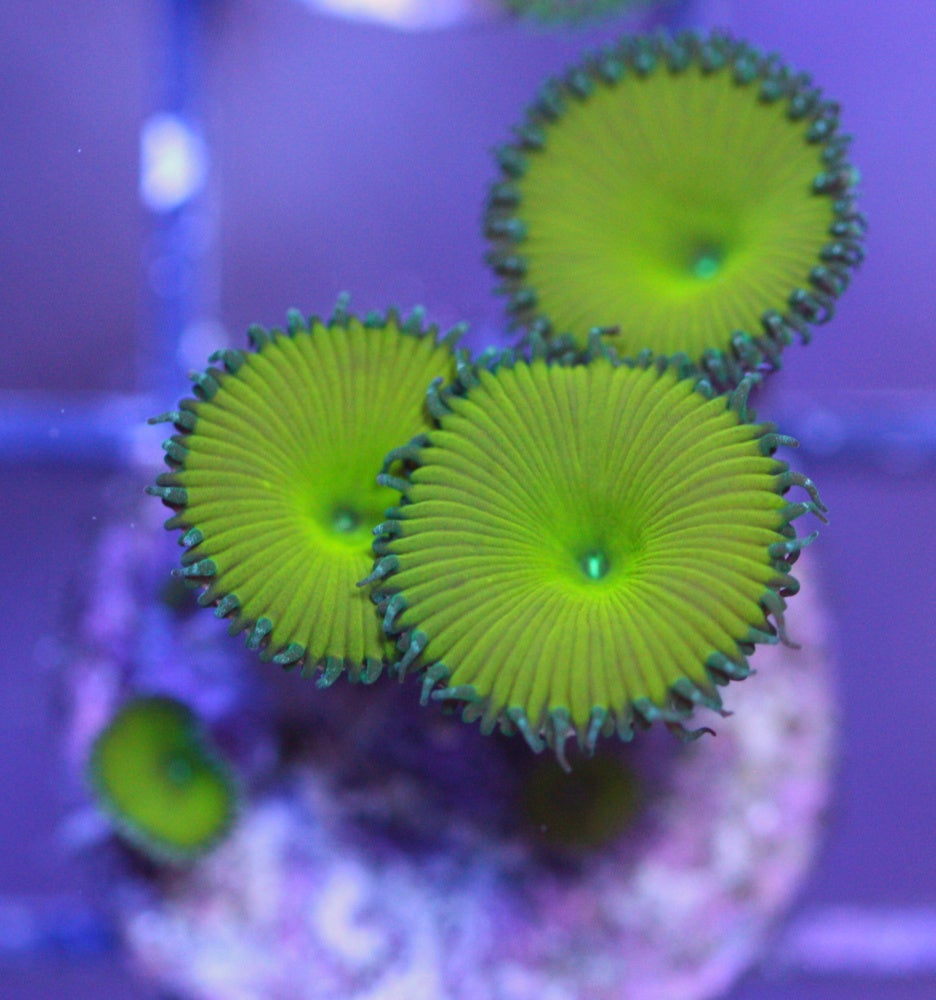 nuclear green palythoa coral collection