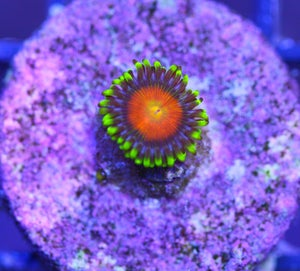 Image of Orange Bang Zoa
