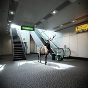 Image of Airport Elk