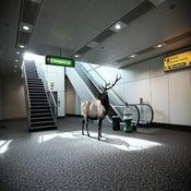 Image of Airport Elk