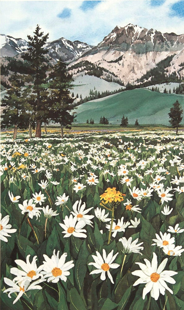 Image of Mountain Daisies