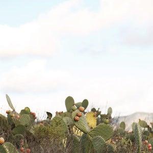Image of California Cactus