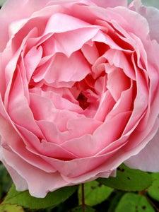 Image of English Rose 8x10 Print