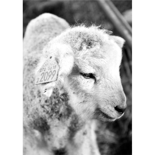 Image of Lamb b/w