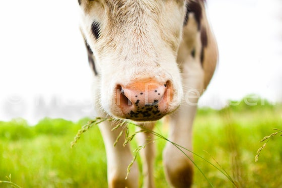 Image of Cow Print