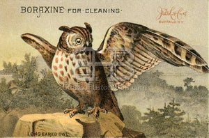 Image of Boraxine - Long Eared Owl